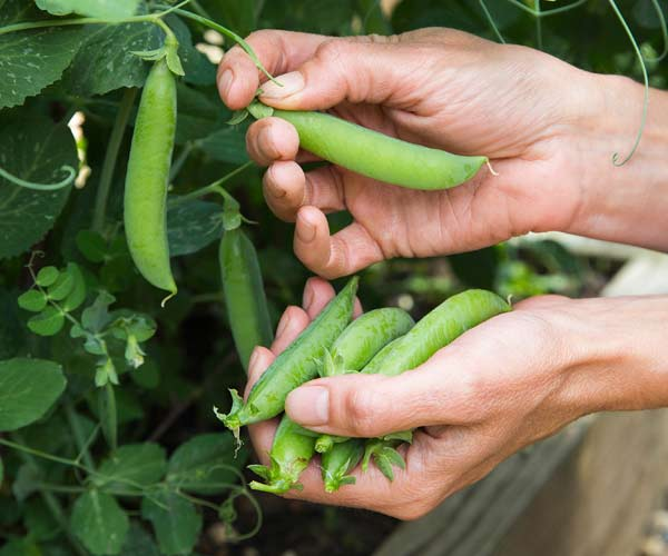 picking peas, vegetable garden problems solved