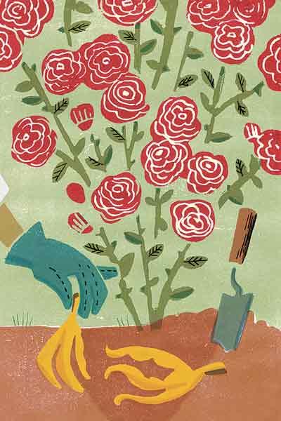 burying banana peels for roses myth, gardening myths