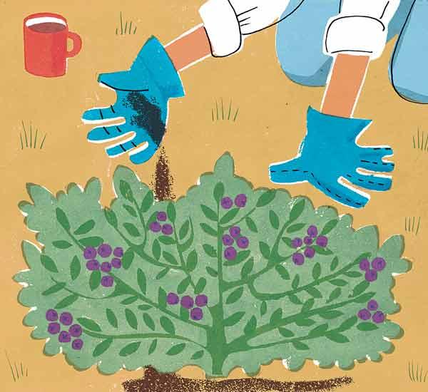 coffee grounds in soil around acid loving shrubs myth, gardening myths