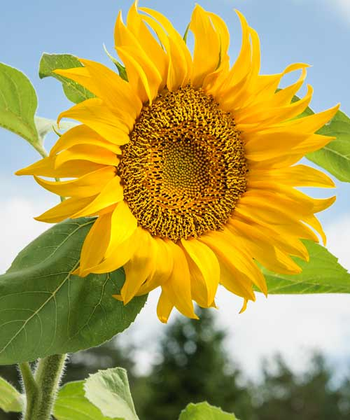 Kansas: Sunflower, Helianthus annuus, state flowers