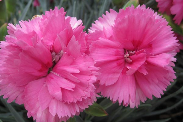 Ohio Scarlet Carnation 50 State Flowers To Grow