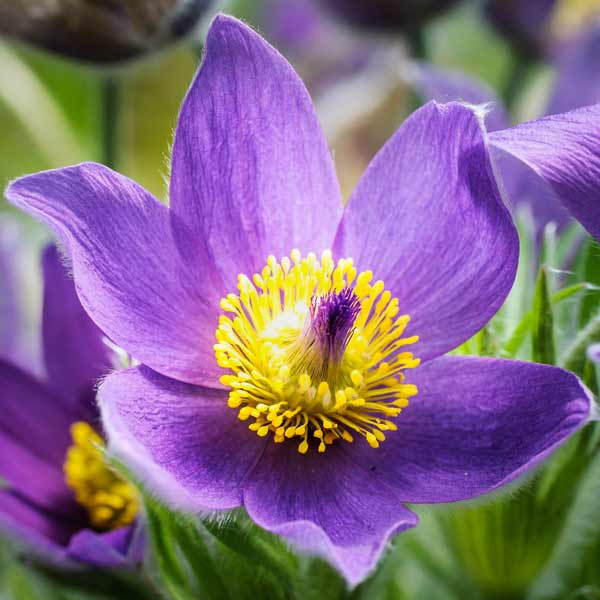 South Dakota Pasque Flower 50 State Flowers to Grow Anywhere