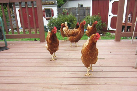 chickens on a deck for Home Inspection Nightmares XXXIII