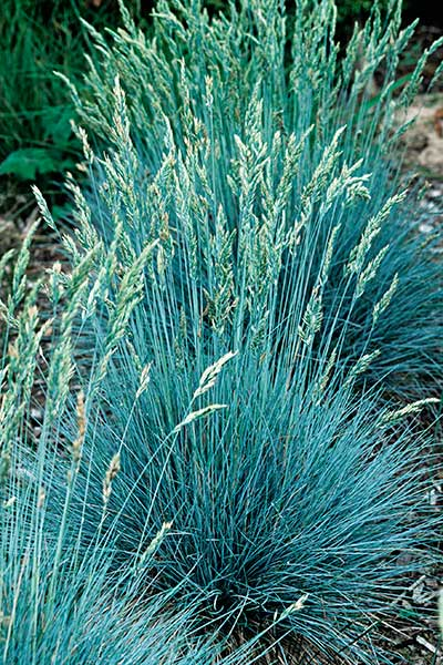 Blue fescue festuca glauca resilient plants for hardy for Blue ornamental grass plants