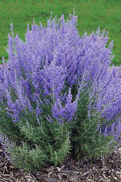 Russian Sage Expert Picks For Colorful Fall Perennials