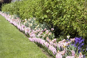 a row of pink flowers bloom below greenery planted along a long fence. a manicured lawn runs off to the left, and trees overhang the wall