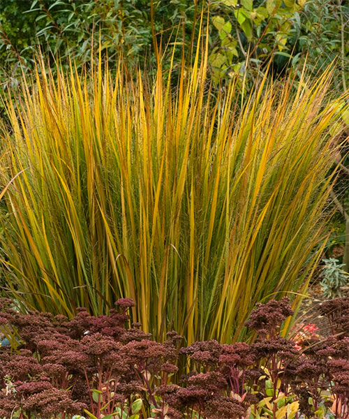Switch grass 10 foolproof native plants for prairie for Ornamental grass with yellow flowers