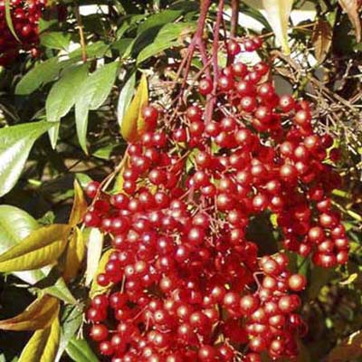 Heavenly Bamboo: spherical bright red fruit on upright shoots with red or reddish-purple leaves