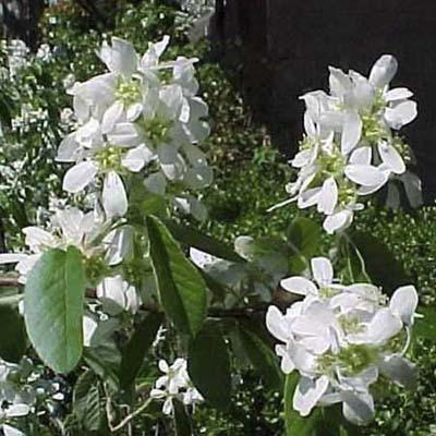 Serviceberry; pure white flowers with oval dark green leaves
