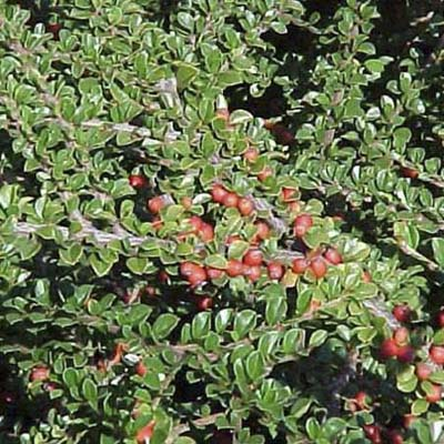 Rockspray; bright-red fruit and glossy dark-green leaves