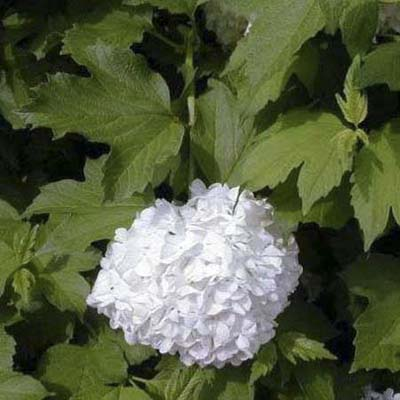 European cranberry bush; white, fertile, central flowers and green maple-like leaves