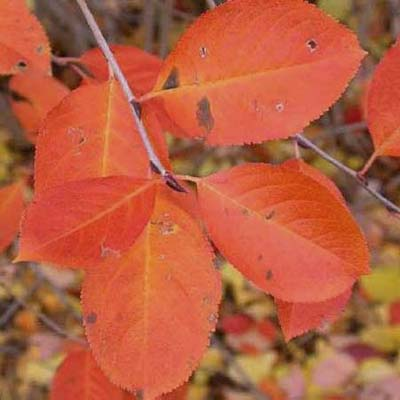 Purple chokeberry; bright to dark purple-red leaves in fall