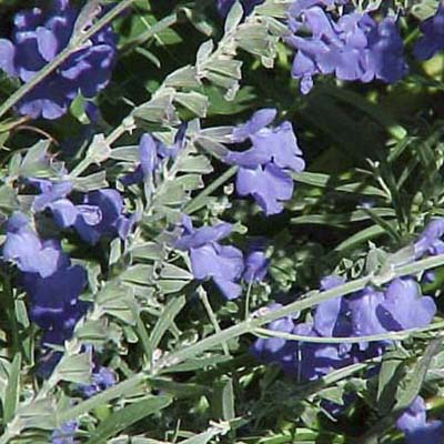 Blue sage; sprawling blue blossoms with fuzzy stems and leaves