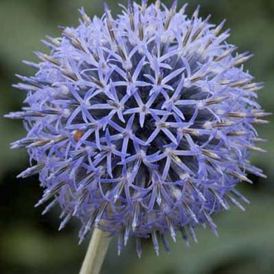 Small globe thistle; many small, blue blooms comprising a sphere on a thick stem