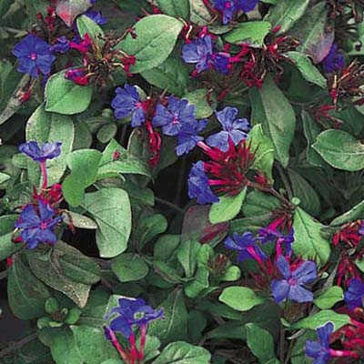 Dwarf plumbago; small purple blooms with green, glossy leaves