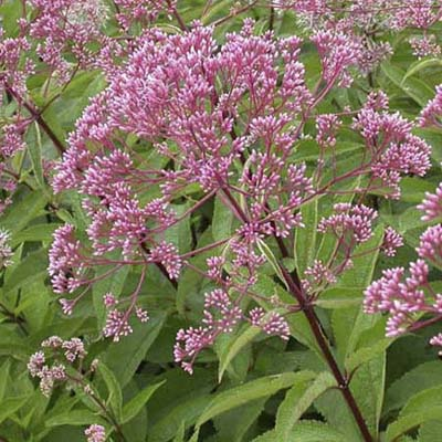 Joe Pye weed; light-to deep-purple flower heads and purple-green leaves
