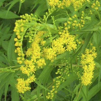 Goldenrods; golden-yellow flowerheads and midgreen leaves