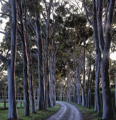 Rows of trees along a path serves as a grand entrance.