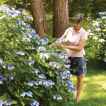homeowner, Rosi Zingales tends to a hydrangea bush