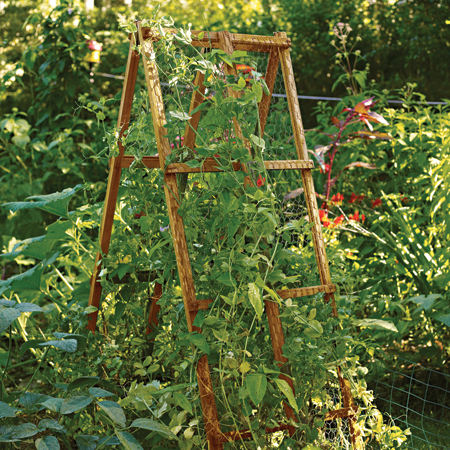 ladder built for climbing vines like the pea vines pictured