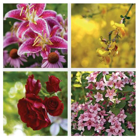 stargazer lilies, Scotch broom, pink weigelas and burgundy climbing roses