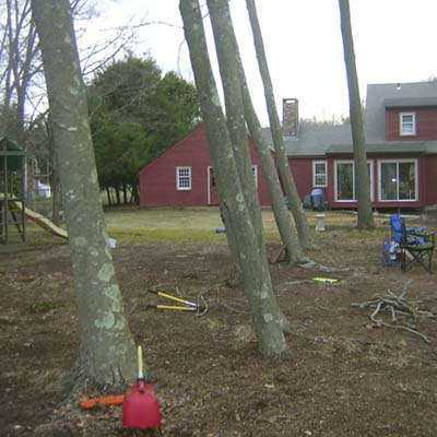 before photo of a back yard in Old Saybrook, CT overrun with trees and pine needles