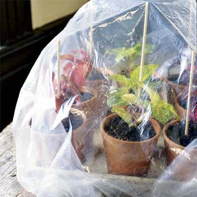 group of potted cuttings under a plastic sheet to keep the protected and moist