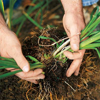 hands gently separating the stems of a perennial to divide it
