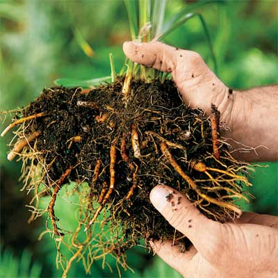roots of a perennial being teased from the bottom and sides of the root clump to divide it for replanting