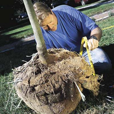 measuring the height of the root ball of a new tree