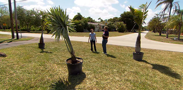 Roger Cook plants several varieties of palm trees in a front yard