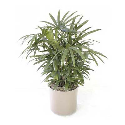 lady palm houseplant