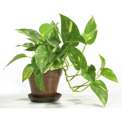 pothos with long wide leaves